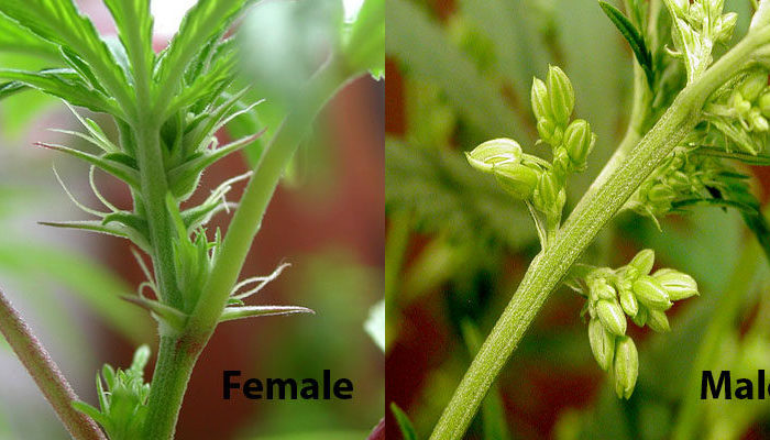 Commit How to sex a marijuana plant